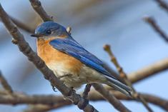 Missouri's State Bird, the Eastern bluebird. | Meet Your State's Most Influential Animal Representative