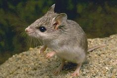 Mm is for mouse. This is the grasshopper mouse. Wild Fact