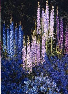 50 Blue Purple Delphunium Mix Seeds Perennial GIant Garden Flower Bright Sun Shade Exotic Yard Patio Deck Container Plumeria Seed Hardy Flower Landscape In Garden