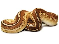 Cinnamon Lesser Ball Python Morph