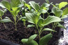 Starting Seedlings Inside- Home Grown Happiness Seed Raising, Liquid Fertilizer, Inside Home, Growing Vegetables, Vegetable Garden, Seeds, Homemade, Plants, Garden Ideas