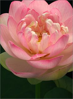 Lotus Flower Petals in Pink and White