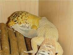 Leopard geckos adult