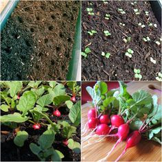 Linn Acres Farm: How to Grow Radishes in Containers