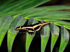 Butterfly, Butterflies,Fairchild Tropical Garden Miami Florida  #JMphotography