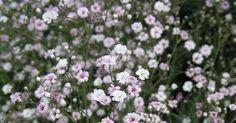 Schleierkraut (Gypsophila) ist aus unseren Gärten nicht weg zu denken. Schon lange wird es als Rosenbegleiter verwendet, aber auch zur Auflockerung von Staudenrabatten ist es sehr gut geeignet. Bei uns sind zwei Arten im Handel: das Hohe Schleierkraut (G. paniculata) und das Teppich-Schleierkraut (G. repens).