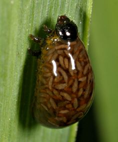 This is a juvenile form of the Cereal leaf beetle (Oulema melanopus) after being parasitized by Tetrastichus julis, a parasitoid wasp which lays its eggs inside the larva of the beetle. They eggs hatch within the larvae and begin to feed while it is still alive, before they burst out and kill it.