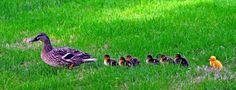 Animaux3. Canards, oies.Famille à Pamiers (Ariège) !