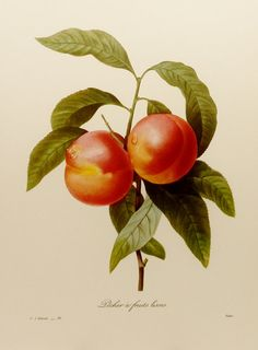 Botanical Illustration, Garden Peach Art Print, Redoute Fruit Illustration No. 95