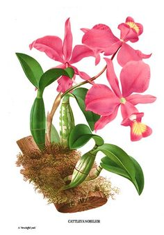 Botanical art print of Cattleya nobilor orchid from Brazil