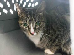 TO BE DESTROYED 3/29/15 *NYC* SWEET GIRL! * Brooklyn Center * Thursday has improved dramatically at the time of the assessment she was displaying good behavior, comes to the front of the kennel and interacts with the Assessor, appreciates attention, is easy to handle and tolerates all petting. *   My name is THURSDAY. My Animal ID # is A1030612. I am a female brn tabby and white dom sh mix. I am about 4 YEARS old.  I came in on 03/17/2015 from NY 11226, OWNER DIED.  Group/Litter #K15-007170.
