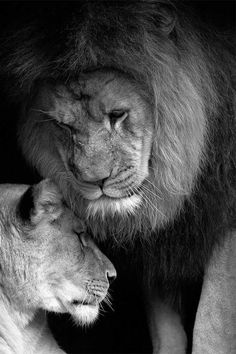 I am a leo and these pictures of lions with their female touch me