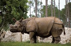 Indian greater one-horned rhino. Incredible