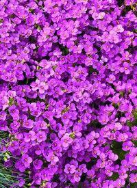 Ikravirág, vegyes színekben, Arabis caucasica