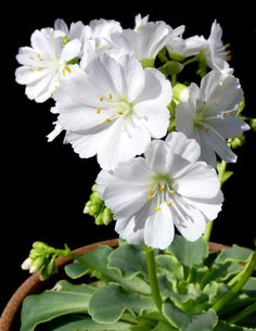 Lewisia cotyledon 'Alba' (Little Fairies - beautiful frankinscence fragrance)
