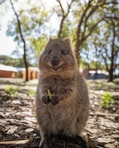 19 Quokka Photos So Cute They'll Make You Scream At Your Phone In Delight