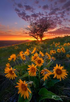Balsam Root and Tree at Sunset Palouse
