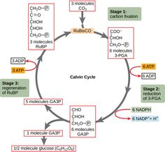 The Calvin Cycle - Using Light Energy to Make Organic Molecules