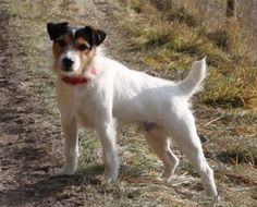 Eddie Parson Russell Terrier Stolen from Livery Yard we Recovered him from Property 10 Miles Occupier Claimed to Have Found him Under a Bush