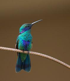 Beija-flor-violeta (Colibri coruscans)