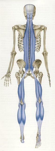 Superficial back line (Credit: Thomas W. Meyers/Anatomy Trains)
