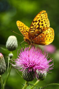 The Great Spangled Fritillary Butterfly as it gathers Nectar from an invasive Thistle at Vernon Marsh State Wildlife Refuge in Mid Summer, WI 2011
