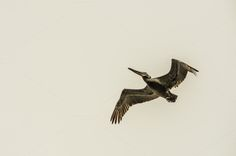 Check out Pelican in Flight by Catchline Studios on Creative Market