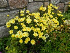 https://flic.kr/p/ZfTamo   Yellow Daisies, Helmsdale, Sutherland, Aug 2017  