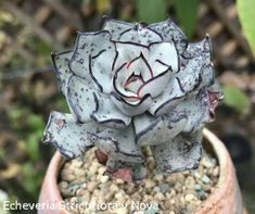 Echeveria strictiflora v nova (剑斯诺娃). The only succulent with the color black. #succulent… ""