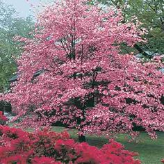 Dogwood Tree...love these! This is what we had in our backyard growing up, and it is still there. Also Mom and Dad have the same color of azalea bushes in the front that are in this pic. Then during the spring we had violets that would grow around and under the tree! Beautiful