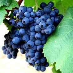 Alfrocheiro. Também chamada de Tinta Bastardinha. Sem ofensas. Esse sinônimo é oficialmente reconhecido, pela Organização da Vinha e do Vinho.