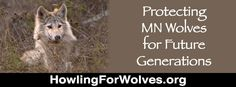 Sign the petition to MN leaders: Suspend the 2013 hunt! Get your pack to sign: www.howlingforwolves.org/takeaction