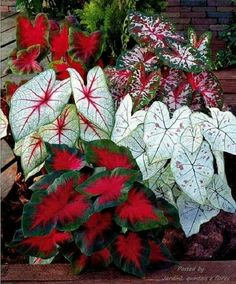Canna seeds Black flower seed Perennial indoor or outdoor plants potted Large leaf flowering Bonsai plant for home garden love the hint of red Container Flowers, Container Plants, Container Gardening, Outdoor Plants, Garden Plants, House Plants, Caladium Garden, Shade Garden, Bali Garden