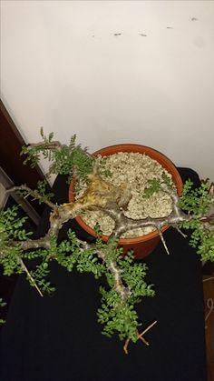 Commiphora sp pinate leaves big