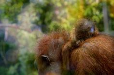 Female Bornean orangutan with new born infant. Photo by Orangutan Foundation.
