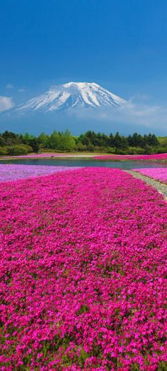Mount Fuji with the field of pink moss at Shibazakura festival...