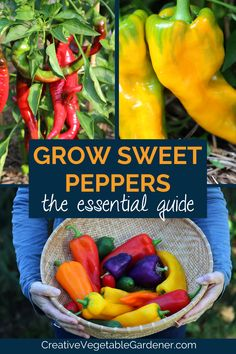 Master successfully growing sweet peppers: best varieties, buying plants and seeds, planting, maintenance, harvesting and preserving. Garden Fun, Fruit Garden, Garden Ideas, Growing Vegetables At Home, Fast Growing Plants, Growing Peppers, Vegetable Garden Tips, Starting A Garden, Buy Plants