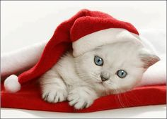 Christmas Kitten - OK but no giving kitties where they won't be wanted as cats, OK? I Love Cats, Crazy Cats, Cute Cats, Christmas Kitten, Christmas Animals, Merry Christmas, White Christmas, Christmas Birthday, Beautiful Christmas