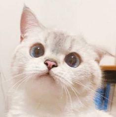 Cute Cat Memes, Funny Cute Cats, Cute Baby Cats, Cute Little Animals, Cute Funny Animals, Kittens Cutest, Cute Dogs, Ragdoll Kittens, Tabby Cats