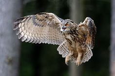 """""""Animal Photography : Owl by novotnyterm Owl Photos, Owl Pictures, Owl Bird, Pet Birds, Lechuza Tattoo, Bird Of Prey Tattoo, Let's Make Art, Sparrow Bird, Circle Tattoos"""