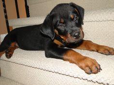 Our Rottweiler : Mason