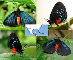 Atala | Eumaeus atala  | Wingspan:  1.5 to 2.0 in Family: Lycaenidae | Subfamily: Theclinae | Tribe: Eumaeini  Photos © Ryan G. Fessenden
