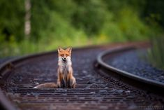 Fox on railroad by Toni Hallikas - Photo 129874931 - 500px