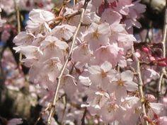 清瀧院のしだれ桜 お花見ガイドと写真