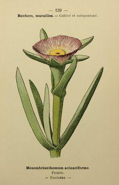 ficoide---mesembrianthemum-acinaciforme.jpg (1033×1600)