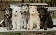 Now that is a beautiful line up of Pumik #pumi #pumidog