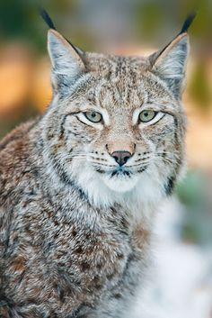 Fantasy Pets Lynx Cat