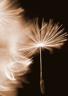Sepia Photograph Dandelion Art by Maddenphotography