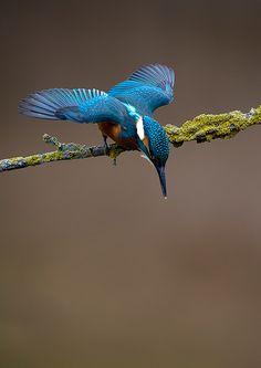 Kingfisher hummingbird. i want this tattoo.