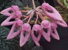 Cirrhopetalum dentiferum - Cirrhopetalum is a genus of epiphyte orchids (family Orchidaceae, subfamily Epidendroideae).